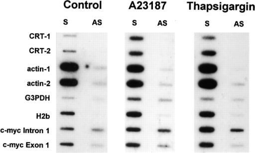 Nuclear run-on analysis of the calreticulin gene in NIH/ 3T3 cells. Nuclei were isolated from cells treated for 4 h with  DMSO (Control), 10 μM A23187 (A23187), or 100 nM thapsigargin (Thapsigargin), and transcription was allowed to proceed in  the presence of [32P]UTP as described in Materials and Methods.  RNA products from equal numbers of nuclei per sample were hybridized to immobilized single-stranded DNA probes that detect  sense (S) or antisense (AS) transcript arising from calreticulin,  actin, G3PDH, H2b, and c-myc genes. CRT-1, calreticulin 5″  probe; CRT-2, calreticulin 3″ probe; actin-1, γ-actin 3″ probe; actin-2, γ-actin 5″ probe.