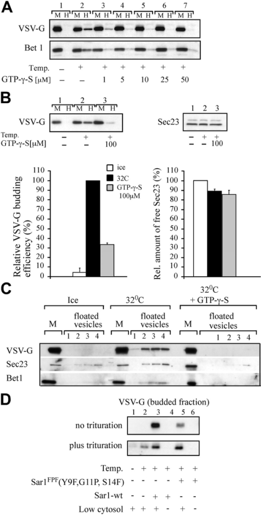 Vesicle release is regulated by endogenous Sar1 GTPase activity and requires functional NH2-terminal amphipathic domain. (A) Inhibition of endogenous Sar1 GTPase activity inhibits COPII vesicle release. VSV-G–containing membranes were incubated in the presence of cytosol for 30 min on ice (lane 1) or at 32°C (lanes 2–7) in the absence (lanes 1 and 2) or presence of increasing concentrations of GTP-γ-S as indicated. At the end of incubation, the vesicle fraction (H) was separated from the donor membranes (M) by differential centrifugation without trituration and analyzed by Western blotting as indicated. (B) COPII components are not limiting under conditions inhibitory to vesicle release. The vesicle formation reaction was carried in the absence or presence of GTP-γ-S (100 μM). At the end of incubation the vesicle fraction was separated from the membrane fraction. The supernatant of the vesicle fraction was collected and analyzed for available COPII component Sec23. Quantitation of the amount of VSV-G in the vesicle fraction (left) and COPII Sec23 subunit remaining in the supernatant of the vesicle fraction (right) averaged from three independent experiments ± SEM. (C) Cargo-free COPII vesicles are not produced when Sar1 GTPase activity is inhibited. Vesicles generated as described in A, in the presence or absence of 100 μM GTP-γ-S, were separated from donor membranes by centrifugation and floated into sucrose gradients. Fractions 1–4 (collected from the top of the gradient) contain floated vesicles (VSV-G– and Bet1-containing fractions). The presence of VSV-G, Sec23, and Bet1 in the vesicle fraction was determined as indicated. (D) Sar1FPF (Y9F, G11P, S14F) does not support efficient vesicle release. In the upper panel, VSV-G–containing membranes were incubated (40 μl final volume) with limiting cytosol in the presence of Sar1 wt or Sar1FPF (2.5 μg each) on ice or at 32°C for 30 min as indicated. At the end of incubation the vesicle fraction was prepared without physical trituration and analyzed by Western blotting. For the trituration assay (lower panel), membranes were incubated (40 μl final volume) with limiting cytosol in the presence of Sar1 wt or Sar1FPF (2 μg each) for 15 min on ice or at 32°C as indicated. The vesicle fraction was prepared with physical trituration and analyzed by Western blotting.