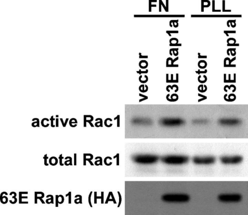 Rap1 activates Rac1. HeLa cells were transfected with an empty vector or a vector encoding constitutively active HA-63E Rap1a. Cells were suspended, plated on fibronectin (FN) or poly-l-lysine (PLL) for 3 h, and lysed, and then active GTP-bound Rac1 was precipitated with GST-PBD PAK1. Precipitates (active) and total cell lysates (total) were then immunoblotted with Rac1 or HA antibodies.