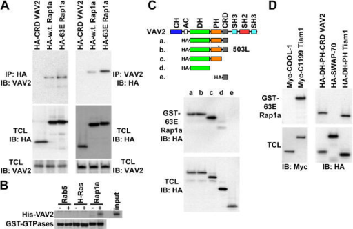 Rap1 binds to a subset of Rac GEFs. (A) Rap1 and VAV2 coimmunoprecipitate. HA (left) and VAV2 (right) antibodies were used for immunoprecipitation from serum-starved HeLa cells electroporated with vectors encoding HA-CRD VAV2 (negative control), HA-wild-type Rap1a (mostly GDP bound), or HA-63E Rapla (GTP bound). Immunoprecipitates (IP) and total cell lysates (TCL) were then immunoblotted with HA or VAV2 antibodies. (B) Rap1 binds to VAV2 directly. GTP-loaded GST-Rab5, GST-H-Ras, and GST-Rap1a on glutathione beads were incubated in the absence (−) or presence (+) of bacterially expressed His-DH-PH-CRD VAV2 (input). Beads were washed, and the precipitates were immunoblotted with an anti-His antibody (His-VAV2) or stained with Coomassie blue (GST-GTPases). (C) Rap1 interacts with the DH-PH module of VAV2. GST-63E Rapla was used to pulldown HA-DH-PH-CRD VAV2 (truncation a), HA-DH-PH-CRD W503L VAV2 (b), HA-DH-PH VAV2 (c), HA-DH VAV2 (d), and HA-CRD VAV2 (e) from transiently transfected HeLa cells. Pulldowns (GST-63E Rapla) and total cell lysates were immunoblotted with HA antibodies. (D) Rap1 interacts with a subset of Rac GEFs. GST-63E Rapla was used to pulldown Myc-COOL-1, Myc-C1199 Tiam1, HA-DH-PH-CRD VAV2, HA-SWAP-70, and HA-DH-PH Tiam1 from transiently transfected HeLa cells. Pulldowns and total cell lysates were immunoblotted with Myc (left) or HA (right) antibodies.
