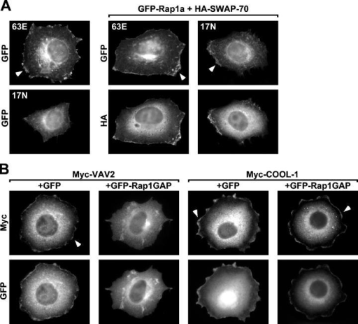 Rap1 targets VAV2 to circumferential membrane protrusions. (A) Both active and inactive Rap1a localize to membrane protrusions. HeLa cells were transiently transfected with vectors encoding GFP-63E Rapla (63E) or GFP-17N Rap1a (17N) alone (left) or cotransfected with a HA-SWAP-70–encoding vector (right four panels). Transfected cells were suspended, plated on fibronectin for 1 h, fixed, and labeled with HA antibodies. Note that cells expressing 17N Rap1a do not spread, but when spreading is induced with SWAP-70, then 17N Rap1a is detected at the cell periphery. Arrowheads indicate localization of the GFP-Rap1a variants at the cell edge. (B) VAV2, but not COOL-1, requires Rap1 activity to localize to membrane protrusions. HeLa cells were transiently cotransfected with vectors encoding Myc-VAV2 or Myc-COOL-1 and GFP or GFP-Rap1GAP together with HA-SWAP-70. HA-SWAP-70 was cotransfected with the Rac GEFs and GFP vectors to allow Rap1-independent spreading. Transfected cells were treated as in A, labeled with Myc antibodies, and only well-spread cells were analyzed. Arrowheads indicate localization of the GEFs at the cell edge.