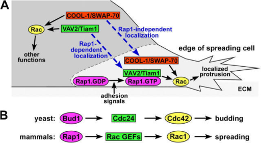 Model: Rap1 regulates morphology by targeting a subset of Rac GEFs to the edge of spreading cells. (A) Only when Rac GEFs are properly targeted do they locally activate Rac, resulting in cell spreading by the formation of productive membrane protrusions adjacent to the ECM. COOL-1 and SWAP-70, two Rac GEFs that do not interact with Rap, are targeted to the protrusive structures by Rap1-independent mechanisms. In contrast, the Rac GEFs VAV2 and Tiam1 are targeted to ECM-associated plasma membranes by binding to active Rap1 (Rap1.GTP) but not inactive Rap1 (Rap1.GDP), following Rap1 activation by adhesion signals. (B) Our proposed model of Rap1 regulation of spreading through Rac GEFs is comparable to the mechanism by which the yeast protein Bud1/Rsr1 controls budding via Cdc24, a Cdc42 GEF.
