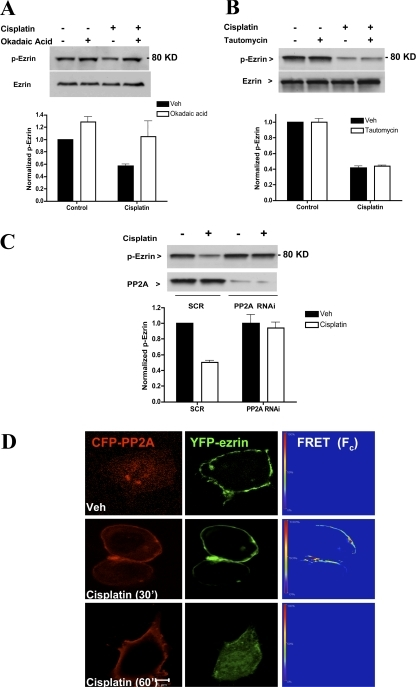 PP2A mediates dephosphorylation of ezrin by cisplatin. Cells plated on 10-cm dishes (5 × 105 cells/dish) were pretreated with 10 nM of either okadaic acid (A) or tautomycin (B). After 1 h, cells were incubated with DMSO or cisplatin (5 μg/ml) for 1 h. Phospho-ezrin levels were evaluated by Western blotting using a specific polyclonal antibody. (C) Cells were transfected with 20 nM of either SCR or PP2A (catalytic subunit) specific oligonucleotides. After 48 h, cells were subjected to DMSO or cisplatin treatments for 1 h. Lysates (30 μg) were analyzed by Western blotting for levels of p-ezrin and PP2A. Blots shown are representative of at least three independent experiments. Densitometric analysis was performed using NIH Image software. (D) MCF-7 cells expressing YFP-ezrin and CFP-PP2A (catalytic subunit) were subjected to sensitized emission FRET analysis. After 24 h of plasmid transfection, cells were treated with DMSO or cisplatin for 30 and 60 min. A representative FRET image of at least 30 cells imaged in three experiments is shown. FRET efficiencies are encoded by using the color bar scale shown on the left. Colors range between blue (lowest FRET) and red (highest FRET).