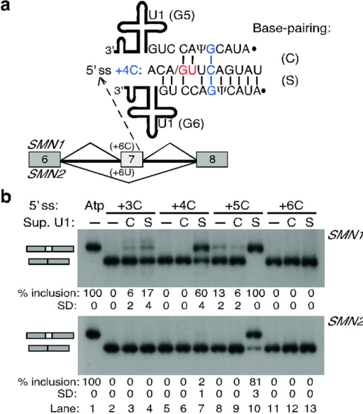 Compensatory U1 mutations that restore shifted but not canonical base-pairing rescue splicing at atypical 5' ssa, Scheme of the experimental design. SMN1/2 minigenes carrying point mutations at a heterologous atypical 5' ss in exon 7 were co-transfected with suppressor U1 snRNAs. The 5' ss nucleotides at positions +3 to +6 were individually mutated to C (+3C to +6C). The 5' end of U1 was mutated so as to rescue base-pairing in the canonical or the shifted arrangement (suppressor U1 mutations G3 to G6). Mutant +4C is shown as a representative example, for which U1 mutations G5 or G6 restore base-pairing in the canonical (C) or shifted (S) register, respectively. For the other three mutations, see Supplementary Fig. 2 online. b, RT-PCR analysis of the +3C to +6C 5' ss mutations in SMN1/2 with suppressor U1. Top labels indicate the 5' ss mutant and the suppressor U1 in either register. Atp, wild-type atypical 5' ss. The percentage and Standard Deviation of exon 7 inclusion is shown below each autoradiogram.