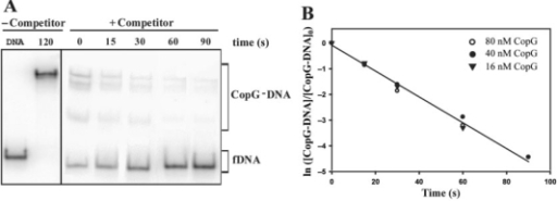 Kinetic of dissociation of CopG from its operator at 37°C. (A) EMSA analysis of the stability of the CopG–DNA complexes. Dissociation of complexes between CopG (40 nM) and the labelled DNA was initiated by addition of a 50-fold excess of unlabelled DNA (t = 0), and samples were analyzed at the indicated times. The sum of the various CopG–DNA complexes (in brackets) was used to analyze the time course of the fraction of labelled DNA complexed to CopG. Samples of free DNA (fDNA) and of the equilibrium mixture without competitor were also loaded at t = 120. All the lanes displayed came from the same gel. (B) Time course of CopG–DNA complex dissociation. Data from three independent experiments, each performed at the indicated CopG concentration, are included. The kd values estimated were (5.5 ± 0.1) × 10−2 s−1 (16 nM CopG), (4.8 ± 0.2) × 10−2 s−1 (40 nM CopG), and (5.3 ± 0.7) × 10−2 s−1 (80 nM CopG). The solid line is the linear fit of all data.