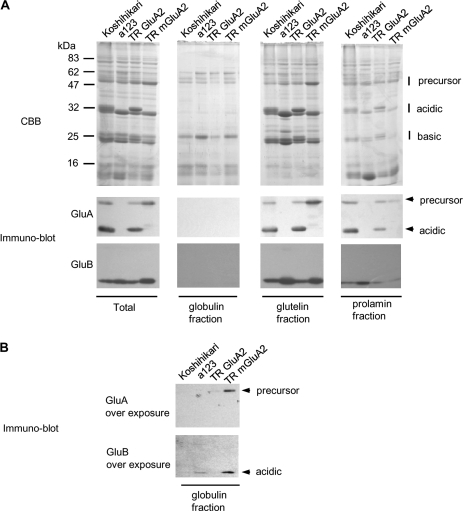 Sequential extraction of seed proteins from Koshihikari, a123, and transgenic rice with GluA2 and mGluA2. (A) Each extracted protein fraction was subjected to SDS-PAGE and immuno-blot analysis using anti-GluA and anti-GluB antibody. (B) In the globulin fraction, overexposed X-ray film is also shown.