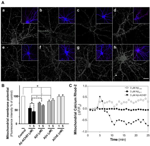 Role of mitochondria in the calcium increase induced by Aβ-AChE. (A) Hippocampal neurons were treated with (a) control medium, (b) 2 μM Aβ-AChEf, (c) 5 μM Aβ-AChEf, (d) 2 μM Aβf, (e) 5 μM Aβf, (f) 2 μM Aβo, (g) 5 μM Aβo and (h) 5 nM AChE for 1 h and stained with MitoTracker (red stain in the insets) and Phalloidin (blue stain in the inset) to observe neuronal morphology. Bar = 10 μm. (B) Quantification of MitoTracker fluorescence intensity representative of mitochondrial membrane potential of the different treatments. Results are the mean ± S.E.M, in duplicate experiments, n = 2 independent experiments; *p < 0.05 (C) Hippocampal neurons were loaded with 5 μM Rhod-2 AM for 40 min and mitochondrial calcium uptake were determined. Mitotracker Green™ (MTG) was used to estimate Rhod-2 signal in the mitochondria. Treatment with 3 μM Aβf gradually increased mitochondrial calcium uptake. Control experiments with reverse peptide Aβ42-1 did not show significant changes in mitochondrial calcium levels. However, 3 μM Aβ-AChEf complexes induced a rapid and acute mitochondrial calcium increase, with a subsequent decrease in mitochondrial calcium levels.
