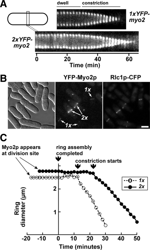 Doubling Myo2p expression levels influences contractile ring dynamics. (A) Kymographs comparing contractile ring lifetime and dynamics in representative 1x and 2xYFP-myo2 cells. Each kymograph is made up of a series of thin slices centered on the contractile ring using images captured every 2 min. Slice height, 4.4 μm. Kymographs start from the point at which rings have assembled, spanning dwell and constriction phases. Kymographs are aligned based on the point at which constriction begins. (B) Comparing the relative levels of Rlc1p at contractile rings in 1x and 2xYFP-myo2 cells. Colocalization of YFP-Myo2p and Rlc1p-CFP in representative cells was performed by epifluorescence microscopy. 1x and 2xYFP-myo2 strains were grown separately before mixing and imaging by light microscopy using DIC (left), YFP (center), and CFP (right) filters. The SPB marker Sad1p-GFP was incorporated into the genome of the 2xYFP-myo2 strain to differentiate it from the 1x strain. (C) Plot charting the average assembly times, dwell times, and constriction rates for contractile rings in 1x and 2xYFP-myo2 cells (n = 20) harboring excess Rlc1p (expressed from a multicopy plasmid). Horizontal lines to the left of the y-axis represent the average assembly time. On assembly ring diameters were measured through dwell and constriction phases and then collectively aligned at the point in time when rings initiate constriction and averaged. The dwell phases (horizontal line to right of y-axis) reflect the mean of the dataset (rounded up to the nearest 2-min time point).