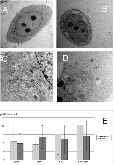 Electron microscopy of the ASPC-1 and MiaPaCa-2 cell lines treated or untreated with OMP.(A) ASPC-1 cell without treatment (800 fold). (B) ASPC-1 cell undergoing apoptosis upon 160 µg/ml OMP after 24 hours (800 fold). Vacuolisation of the cytoplasma and condensation of the nucleus are visible. (C) Phagophores and autophagosomes in a segment of an ASPC-1 cell treated with omeprazole 80 µg/ml for 24 hours (2800fold enlargement). The phagophores are characterised by a cup-like shape (white arrows). Autophagosomes are closed particles, the number of which is increased in treated cells (black arrows). (D) Early phagophores and autophagosomes are also found in MiaPaCa-2 cells treated with OMP 80 µg/ml after 24 hours in a perinuclear region containing lysosomes and the Golgi complex. In contrast to ASPC-1 cells, early signs of apoptosis such as vacuolization, are also present. (E) Barchart of the numbers of autophagosomes and lysosomes per cell in MiaPaCa-2 and ASPC-1 cells untreated or treated with 5-FU, OMP or the combination of both for 24 hours with standard errors. Significant differences compared to control are marked by *. In ASPC-1 cells there were significant differences compared to the control in the OMP group (p: 0.03) and the 5-FU+OMP group (p: 0.03). In MiaPaCa-2 cells the 5-FU+OMP group differed significantly from control (p<0.001).