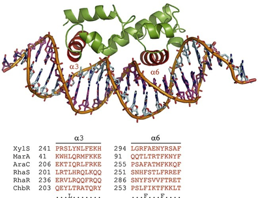AraC‐XylS family regulators' characteristic HTH DNA binding motif is shown by using the member MarA as a model (α‐helixes 3 and 6 in red colour). Conserved amino acid residues are depicted in the bottom row. The alignment was derived from the full‐length primary sequences of the given TFs by using the PROMALS3D web server (Pei et al., 2008). Parameters were left at default values. The figure was prepared by using PyMOL (DeLano, 2003). Note that MarA binds DNA as a monomer.