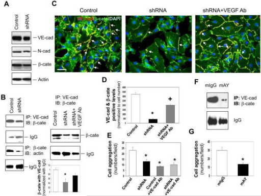 YKL-40 mediates the interaction of VE-cadherin/β-catenin/actin and cell-cell adhesion in HMVECsA. Western blot analysis of VE-cad (VE-cad), N-cad, β-cate, and actin protein expression from the lysates of HMVECs treated with either control or YKL-40 shRNA GSDC-conditioned media for 24 hours. B. Immunoprecipitation of VE-cad from the HMVEC lysates treated for 24 hours with conditioned media from control, YKL-40 shRNA, or YKL-40 shRNA cells plus an anti-VEGF Ab (100 ng/ml) followed by immunoblotting of β-cate. IgG levels were used as a control. Immunoprecipitation of β-cate followed by immunoblotting against actin was similarly performed in HMVEC lysates. *P<0.05 compared with control. n=3. C. Double staining of VE-cad (red) with β-cate (green) in HMVECs treated with conditioned media from control, YKL-40 shRNA, or YKL-40 shRNA cells plus an anti-VEGF Ab to determine the extent of co-localization (yellow) indicated by arrows. Nuclei (blue) were stained by DAPI. A bar: 20 μm. D. Quantification of the immunocytochemistry images in part C, normalized to cell number. N=3, *P≤0.05 compared to control. +P≤0.05 compared to control and YKL-40 shRNA. E. HMVEC aggregation was measured and quantified in the presence of GSDC control or YKL-40 shRNA media with an anti-VE-cad Ab (50 μg/ml). N=3, *P≤0.05 compared to control. F. HMVECs were treated with GSDC control medium in the presence of mAY or mIgG (10 μg/ml) overnight. Cell lystates were subjected to immunoprecipitation with an anti-VE-cadherin antibody followed by immunoblotting against β-cate. G. HMVECs treated with GSDC control medium in the presence of mAY or mIgG (10 μg/ml) were measured for cell aggregation. N=3, *P≤0.05 compared to control.
