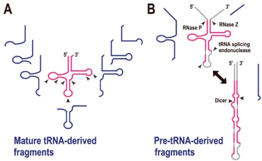 tRNA-derived fragments (tRFs). (A) Mature tRNA-derived fragments (shown in blue). The arrowheads indicate the possible cleavage sites by endoribonucleases. (B) Pre-tRNA-derived fragments (shown in blue). Enzymes required for pre-tRNA processing are shown with each arrowhead.