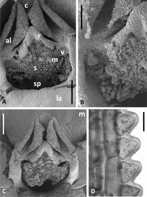 Scanning electron micrographs of flowers and bracts of Icelandic P. hyperborea.(A) Gymnostemium of recently opened flower, showing densely papillate stigmatic surface (s) bearing massulae (m) derived from the pollinaria that formerly occupied the now severely desiccated anther locules (al) bracketing the connective (c) and rostellum (r); also visible are depressions presumably formerly occupied by the viscidia (v), and the labellum (la). (B) Magnified view of (A) to better illustrate the stigmatic features. (C) Gynostemium of another flower that better illustrates the firm attachment of disaggregated pollinium fragments to the adhesive disc secreted by the stigma. (D) Distinctive row of robust, angular cells that characterises the bract margins of this species. Scale bar = 500 µm (A, C), 250 µm (B), 50 µm (D). Images: P Rudall.