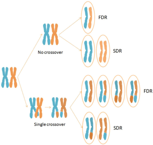 Half tetrads resulting from no crossover and single crossover events under FDR and SDR mechanisms of unreduced gamete formation.
