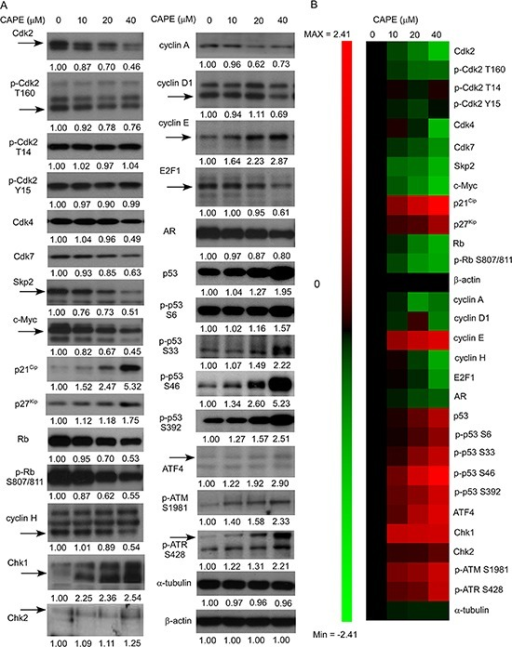 CAPE treatment affected abundance and phosphorylation of proteins regulating proliferation, cell cycle progression, and survival in LNCaP 104-R1 cells(A) Protein expression of Cdk2, phospho-Cdk2 Thr160, phospho-Cdk2 Thr14, phospho-Cdk2 Tyr15, Cdk4, Cdk7, Skp2, c-Myc, p21Cip1, p27Kip1, Rb, phospho-Rb Ser807/811, cyclin H, cyclin A, cyclin D1, cyclin E, E2F-1, AR, p53, phospho-p53 Ser6, phospho-p53 Ser33, and phospho-p53 Ser46, phospho-p53 Ser392, Chk1, Chk2, phospho-ATM S1981, phospho-ATR S428, and ATF4 in LNCaP 104-R1 cells treated with 0, 10, 20, and 40 μM CAPE for 96 h were assayed by Western blotting. Protein abundance of α-tubulin and β-actin was used as loading control. (B) Proteins expression level was organized in the y-axis of the heatmap based on time of maximal fold change amplitude. Green color indicated decrease of protein expression while red color indicated increase of protein expression under treatment of CAPE.