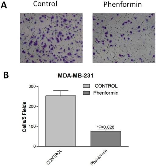 Phenformin inhibits MDA-MB-231 cells migration.(A) After incubation with phenformin for 24 hours, MDA-MB-231 cells (25,000 cells per chamber) were seeded in the upper chamber in serum free medium. The lower chamber contained medium with 10% FBS. After incubation for 16 hours, the cells were removed from the upper surface of the chamber membrane, and the cells on the lower surface of the chamber were stained with crystal violet and counted using a microscope(100X). (B) The number of cells/five fields was plotted. The data are presented as the mean±SEM of three replicates per group. Asterisks indicate significant differences at p<0.05 by Student's t test.