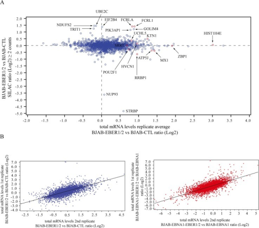 SILAC proteomics and mRNA-seq transcriptomics.(A) Cross-correlation of SILAC ratios (≥ 2 counts) and their corresponding total mRNA levels. The y-axis shows the Log2 values of the SILAC EBER/CTL ratio. The x-axis indicates for each SILAC ratio its corresponding Log2 total mRNA levels obtained by mRNA-seq. The mRNA values were averaged from the two biological replicates collected. Proteins with a significant SILAC ratio are indicated. Those with a significant fold-change in the mRNA-seq data are colored red. (B) Plots showing the cross-correlation between fold-changes (Log2 values) in the two biological replicates of each comparison: BJAB-EBER1/2 vs BJAB-CTL comparison (blue), BJAB-EBNA1-EBER1/2 vs BJAB-EBNA2 comparison (red).