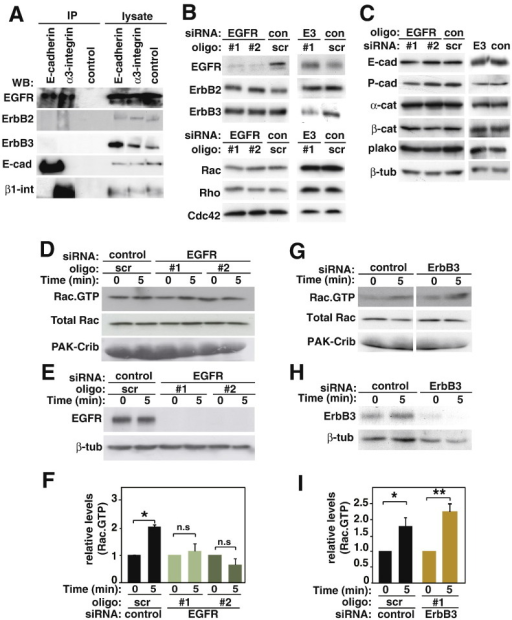 EGFR, but not ErbB3, is required for cadherin-dependent Rac activation.A, Following induction of cell–cell contacts, keratinocyte lysates were immunoprecipitated with anti-E-cadherin antibodies, anti-α3-integrin (positive control) or no antibody (control) and probed with antibodies against proteins shown on the left of panels.B–C, Keratinocytes were treated with EGFR (oligo #1, oligo #2), ErbB3 (E3) or control (scr) siRNA oligos for 48 h. Equal amount of protein was separated on SDS–PAGE and probed with antibodies against proteins shown on the left of each panel.D–I, Keratinocytes were transfected with different siRNA oligos and junctions were initiated for 5 min by the addition of calcium ions and active Rac levels measured.D and G, Proteins were precipitated with GST–PAK-Crib beads (Rac∙GTP) and lysates (Total Rac) were probed with anti-Rac antibodies. The amount of GST fusion protein in each sample was evaluated by Amido Black staining (PAK-Crib).E and H, Depletion of EGFR or ErbB3 are shown. Beta-tubulin is shown as a loading control.F and I, Cell–cell-adhesion-dependent Rac activation was quantified and normalised to Rac·GTP levels at time 0 (no cell–cell contacts) for each siRNA group. Data is representative of 3 independent experiments (thereafter N = 3). *, p < 0.05; **, p < 0.005; n.s., non-significant.