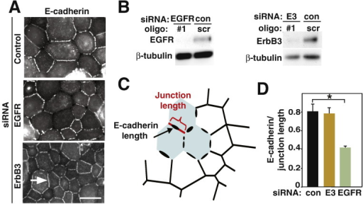 EGFR depletion perturbs cell–cell contacts.A, Keratinocytes treated with different siRNA oligos were induced to form cell–cell contacts for 30 min, fixed and stained for E-cadherin. Arrows show E-cadherin at junctions; arrowhead points to perturbed junction.B, Western blot shows knockdown of EGFR or ErbB3 (E3).C, Method for quantification of junction disruption. The length of cell–cell contacts (corner to corner) and the length of E-cadherin staining were obtained for each junction and expressed as a ratio (control junctions = 1).D, Disruption of E-cadherin localization by depletion of EGFR. ErbB3 (E3) and non-targeting oligos (con) were used as controls. N = 3 or N = 2 (ErbB3); about 150 junctions quantified in each replicate. Scale bar = 40 μm. *, p < 0.05.