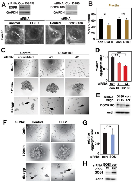 DOCK180 stabilizes pre-formed junctions.Keratinocytes were treated with siRNA oligos as labelled in the different panels and processed to determine actin recruitment to clustered E-cadherin (A–B) or aggregation assays (C–H).A–B, Following depletion of EGFR or DOCK180, cells were incubated with antibody-coated latex beads for 15 min and stained for F-actin. F-actin clusters are shown by arrows (A) and the proportion of attached beads containing F-actin clusters was quantified and expressed relative to controls (B).C–H, Keratinocytes depleted of DOCK180 (C–E) or SOS1 (F–H) were trypsinised and allowed to aggregate in suspension in the presence of calcium ions for 120 min, followed by disaggregation.C and F, Phase contrast images of initial samples, following aggregation for 120 min and after mechanical stress (disaggr). Black arrows point to aggregates.D and G, Relative sizes of all remaining aggregates were measured and shown in comparison to controls (arbitrarily set as 1).E and H, Confirmation of depletion efficiency following DOCK180 or SOS1 RNAi. Equal amounts of protein were loaded, actin used as a loading control. N = 3. Scale bar = 15 μm (A) or 200 μm (C, F). *, p < 0.03; **, p < 0.0003; ***, p < 0.001; n.s., non-significant.