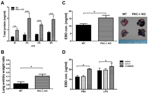 Inhibition of PKC-δ promotes pulmonary edema and vascular permeability. (A) Total protein levels in BAL fluid at various time points after LPS infusion. n=3-14 for each group. *p<0.05, **p<0.01, and ***p<0.001 between the two groups. (B) The lung wet/dry weight ratio at 24 h after LPS infusion. n=12-13 for each group. *p<0.05. (C and D) EBD was injected 4 h after LPS infusion and lungs were harvested 30 min later. Gross observation (left column) and concentrations of EBD in extracted lung tissue (right column). n=12-13 for each group. *p<0.05. (D)δV1-1 or ΨδRACK peptide was intratracheally injected 30 min before LPS infusion. Lungs were harvested 30 min after EBD injection. n=6-8 for each group. *p<0.05 between the indicated groups.
