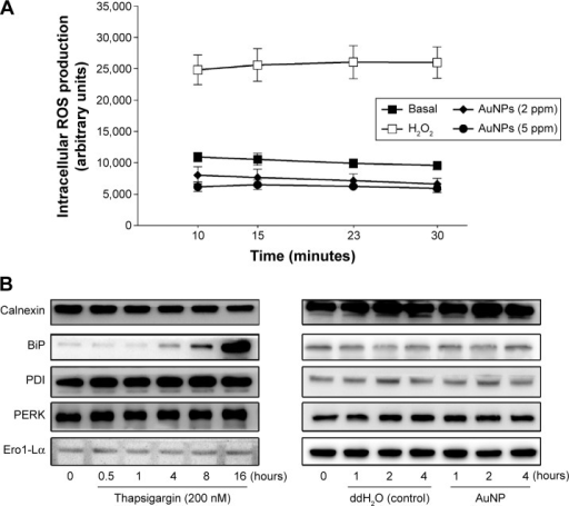Effect of the AuNPs on intracellular ROS production and ER stress-related protein expression.Notes: (A) CM-H2 DCFDA-loaded endothelial cells were treated with H2O2 (100 μM), vehicle, or the AuNPs (2 ppm) for the indicated time intervals. Intracellular ROS production was measured by fluorometry (n=4). (B) The cells were treated with thapsigargin, vehicle (ddH2O), or the AuNPs for the indicated time intervals; the ER stress-related protein expression was determined by Western blotting (n=3).Abbreviations: AuNPs, gold nanoparticles; ER, endoplasmic reticulum; ROS, reactive oxygen species.