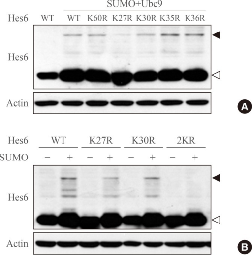Hes6 is sumoylated at lysine residues 27 and 30. (A) Proteins were extracted from HeLa cells transfected with Hes6 constructs encoding wild type (WT) or its Lys-Arg mutants. Western blot was performed with the indicated antibodies. (B) Cells were transfected with Hes6 constructs encoding WT, the single mutants (K27R or K30R), or the 2KR (K27/30R) double mutant together with SUMO and Ubc9 and analyzed by Western blot using anti-Hes6 antibodies.