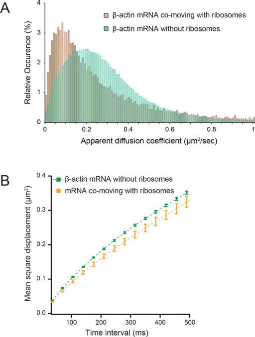 Diffusion characteristics of β-actin mRNA co-moving with ribosomes and without ribosomes.(A) β-actin mRNAs that co-move with ribosomes exhibitslower apparent diffusion coefficients. (B) The mean square displacement curve of co-moving β-actin mRNA trajectories displays a shift towards corralled movement.DOI:http://dx.doi.org/10.7554/eLife.10415.016