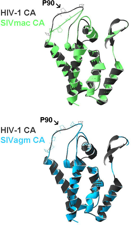 Computer modelling of the CA structure from SIVmac and SIVagmTAN. The CA structure from SIVmac and SIVagmTAN by using HIV-1 CA crystal structure (PDB:1AK4) as template. The CA from SIVmac (upper panel) and SIVagmTAN (lower panel) were superimposed on the CA from HIV-1 which binds to CypA. The proline at position 90 on HIV-1 CA is indicated.