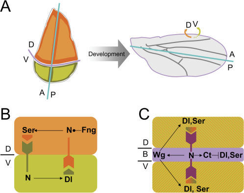 Gene regulatory network involved in DV boundary formation.(A) The wing primordium (left) is subdivided into anterior (A) and posterior (P) compartments, as well as into dorsal (D) and ventral (V) compartments, which will give rise to specific biological structures within the adult wing (right). The compartments are named after the position that their cells and progeny will occupy by the end of development. (B, C) Early in development (B), Serrate (Ser) signals to V cells to activate Notch (N). Likewise, Delta (Dl) signals to D cells to activate Notch modified by Fringe (Fng) along the DV boundary. Later in development (C), ligands expression becomes symmetric with respect to the boundary and a positive feedback-loop between Wingless (Wg) and Ser/Dl-expressing cells maintains the signaling center along the DV boundary. Notch activity elicits Cut expression that represses Dl and Ser in boundary cells.