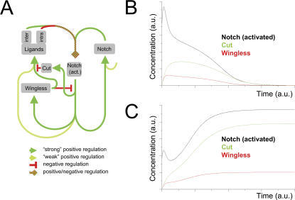 In silico testing of the gene regulatory network: refractoriness to Wg in boundary cells renders stability to the DV regulatory network.(A) Regulatory network for the formation of the DV boundary. Positive and negative regulations are coded with green and red colors, respectively. Color intensity in positive regulations indicates, qualitatively, the strength of expression levels (the lighter the weaker). The green-red dashed line that ends with a rhombic arrowhead indicates that receptor-ligand dynamics may lead to either positive or negative regulation: Notch-ligand binding in the same cell (intra) or in adjacent neighboring cells (inter) lead, respectively, to titration (sequestering effects) or activation of Notch. Activated Notch induces ligand and receptor expression at low levels, thus closing a positive feedback loop that maintains each other's expression at early stages of wing development. Note that Notch has an additional autonomous off-network regulation. Increased Notch activity induces expression of Wg and Cut. The latter represses Ser and Dl. (B) Evolution of Wg (red) expression levels, Notch activated (black), and Cut (green) in boundary cells as a function of time. The boundary is initially established but cannot be maintained (see text). (C) Evolution of Wg (red) expression, Notch activated (black), and Cut (green) levels in boundary cells as a function of time in a scenario in which refractoriness to Wg has been taken into account in boundary cells (see text). Note stable activation of Notch and expression of Wg and Cut in this case, when compared to (B).