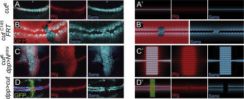 Refractoriness to Wg is conferred by the Notch target gene cut.(A) Mature cut6 mutant wing disc showing co-expression of the proteins Senseless, Sens, (in blue) and Wg (in red) in boundary cells. (B) Clones of cells lacking cut activity marked by the absence of GFP (red). Sens (in blue) starts to be expressed in boundary cells. (C) Mature cut6 mutant wing disc that expresses the intracellular domain of Notch (Nintra) under dppGal4 control. Wg protein expression is shown in red and Sens protein expression in blue. (D) Mature wing disc that expresses Cut and GFP (green) under dppGal4 control. Note the loss of Sens expression (blue) and ectopic expression of Wg (red) in non-boundary cells. (A'–D') In silico counterparts of the results shown in (A–D).