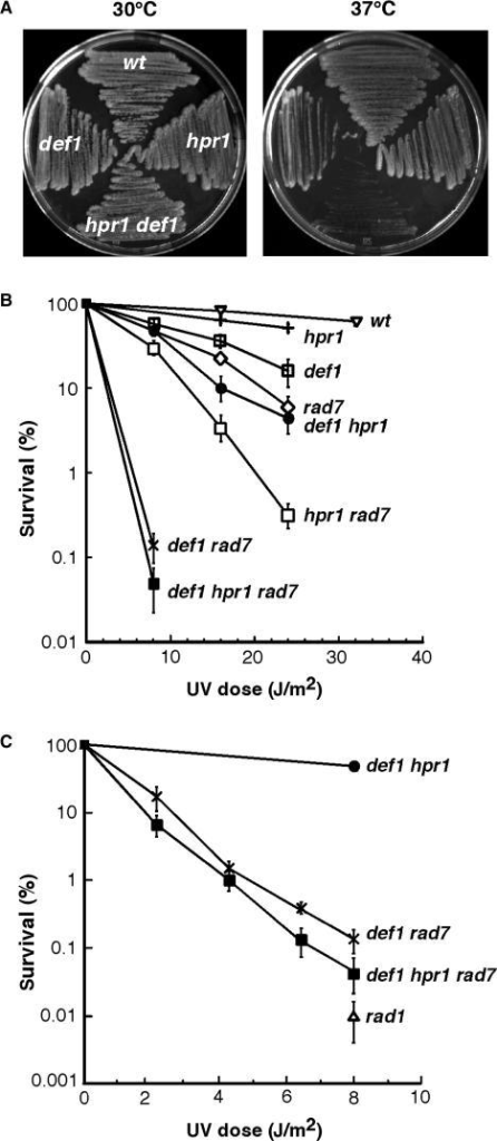 Synergistic increase of temperature and UV sensitivity phenotypes in def1 hpr1 double mutants. (A) Growth of isogenic W303 yeast strains carrying single and double combinations of the hpr1 and def1 mutations at 30°C (left panel) and at 37°C (right panel). (B and C) UV sensitivity curves of isogenic hpr1Δ, def1Δ, and rad7Δ single, double and triple mutants. Isogenic wild-type and NER-deficient rad1Δ strain were used as controls. Note that the UV dose used in panel C was lower than in panel B. Description is as in Figure 1.