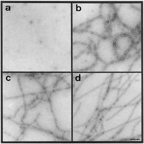 Negatively stained F-actin filaments imaged by CTEM after 0 (a), 5 (b), 10 (c), and >30 min (d) after onset of the polymerization reaction by addition of KCl to 100 mM to Ca–ATP–G-actin (1 mg/ml). At each time point, 5 μl aliquots were directly applied for 15 s  to an EM grid, washed, and negatively stained with uranyl formate (for details see Materials and Methods). Bar, 200 nm.