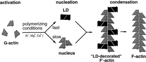 "Schematic representation of F-actin filament polymerization involving the obligatory, UD-based nucleation–condensation pathway and a facultative, LD-based pathway leading to stochastic incorporation of LDs (i.e., via one of their subunits) into  growing F-actin filaments. This polymerization course transiently  yields partially ""LD-decorated"" filaments. Probably in response  to switching of the filament-bound LDs from a G-like to an F-like  conformation, their unincorporated actin subunits are released  into the monomer pool, thus yielding normal-looking F-actin filaments at steady state."