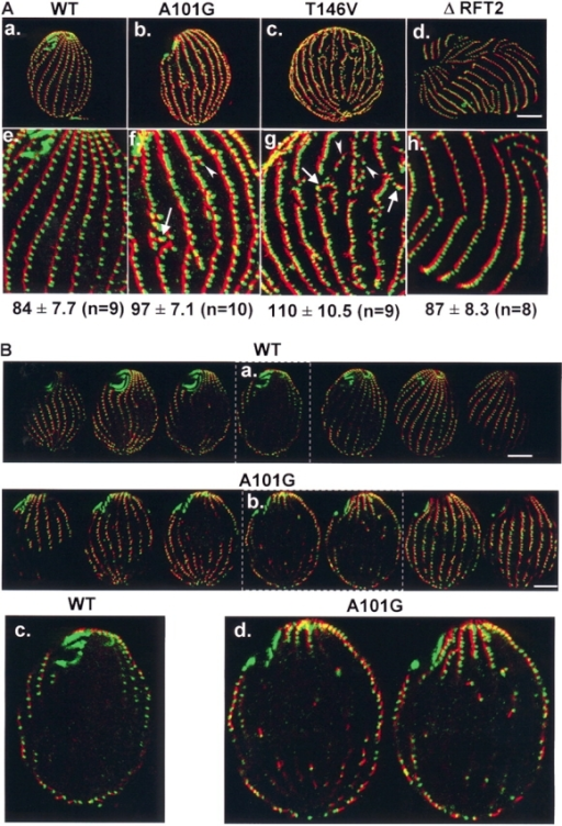 The abnormal pattern of BBs in NBD mutants. Wild-type (WT), MTT1::gtu1-A101G-HA mutant, and T146V mutant strains (see Materials and methods for details) grown at 15 or 20°C in 0.5 μg/ml CdCl2 for 1 or 4 d were fixed and stained with anticentrin (green) and anti-KF (red) antibodies. (A, a–d) Stacks of one half of each cell are shown. (e–h) Images at higher magnification. (a and e) Wild-type cell. (b, c, f, and g) Three types of defects in NBD mutants: (1) BBs with different orientations (arrows); (2) BBs not in rows (arrowheads); and (3) increased BB densities. The BB density (the number of BBs/250 μm2) is listed beneath the bottom panels. (d and h) As a control for the effects of cell enlargement, a ΔRFT2 mutant cell grown at 30°C for 3 d (these mutant cells do not grow at lower temperatures) shows incomplete division furrows without severe disruption of BB row organization or abnormal BB density. (B) Internal BBs in the cytoplasm of a wild-type cell and a mutant. A Z-series shows thin sections of a wild-type (a) and an MTT1::gtu1-A101G-HA cell (b) after 1 d at 15°C. (c and d) Images from the lettered panels (a and b) at higher magnification. Bars,10 μm.