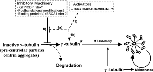 A model for the role of γ-tubulin in centriole/BB biogenesis. We propose that the initiation activity of γ-tubulin is inhibited by a mechanism acting through the NBD (step 0). Nonexclusive possibilities include mechanisms that monitor or are sensitive to the GTP/GDP ratio in γ-tubulin or posttranslational modifications (that might be mimicked by NBD mutations) that regulate the association–dissociation of inhibitory complexes with the NBD. During initiation, an activating signal either inactivates the inhibitors (step 1a) or acts on γ-tubulin (step 1b) to convert it from an inactive to a licensed form that is competent to initiate duplication. The precise site of the active γ-tubulin complex depends on whether cells contain a preexisting BB/centriole. The precentriole particles containing inactive γ-tubulin will be degraded. Activation and recruitment of other BB/centriole components are then initiated. γ-Tubulin is also known to be involved in MT nucleation and long-term maintenance of BBs. γ-Tubulin indicates an inactive γ-tubulin complex; γ-tubulin* indicates an active form. MT, microtubule.
