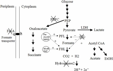 The genetic modification of metabolic pathways and regulatory components for hydrogen production in E. coli.The metabolic flows are indicated by solid arrows. Some key enzyme systems are labeled. The key global regulators and their regulatory targets are circled and indicated by dashed arrows, respectively. Pluses (+) represent activation, and minuses (−) represent repression. Crosses (X) indicate chromosomal gene disruptions.