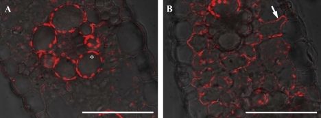 Localization of ZmYS1 in maize leaf blade. A leaf blade of plants grown in Fe-sufficient (A) or Fe-deficient conditions with chlorosis (B) was used for immunostaining. The asterisk and arrow indicate autofluorescence of the chloroplast and ZmYS1 localization at the plasma membrane of the mesophyll cell, respectively. Scale bars indicate 100 μm.
