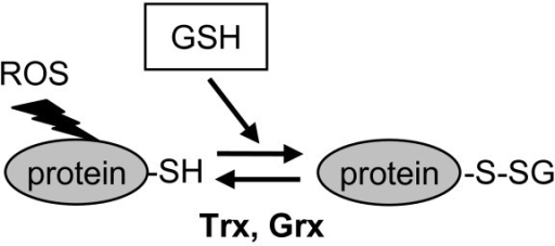 Modification of proteins by glutathionylation. This reversible post-translational modification involves the formation of a mixed disulphide between a free thiol group on a protein and a molecule of glutathione. This may occur through oxidation of a protein-thiol group in response to ROS, and reaction with GSH as shown in the diagram. Alternatively, oxidized GSSG may react with protein-SH groups (for a review, see [9]). Deglutathionylation may be catalysed by glutaredoxin (Grx) or thioredoxin (Trx).