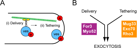 Two pathways to achieve efficient exocytosis. (A) Schematic model of efficient exocytosis involving a combination of frequent delivery of exocytic vesicles (ves, blue) to cell tips, requiring actin cables (green) and type V myosin (yellow), together with tethering of vesicles through an efficiently functioning exocyst complex (e, red). (B) Genetic interactions indicate that Mug33, together with Exo70 and Rho3, acts to improve efficiency of exocyst function. See the text for further discussion.