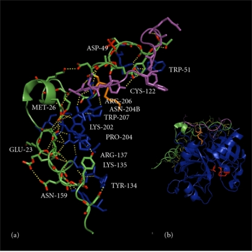 Pymol-generated structure of thrombin using the PDB 3GIS coordinates of Ser195Ala thrombin [8]. (a) Interactions between the A-chain and the B-chain of thrombin (B-chain residues are labeled in blue, the 36-amino acid residue A-chain is colored in green, and the covalently bound A13 peptide segment is colored magenta. The covalent disulfide bridge between the A- and B-chains is through Cys1(93)-Cys122, as shown in orange. Hydrogen bonds are colored yellow and residue numbering is based on chymotrypsinogen, with prothrombin numbering for the A-chain provided in brackets. The A-chain is stabilized by the Asp1a(92)-Lys9(301) and Arg14d(310)-Glu13(314) ion pairs and the ion quartet Arg4(96)-Glu8(300)-Asp14(306)-Glu14c(309). The ionic interactions include Glu8(300)-Lys202-Glu14c(309), Asp14(306)-Arg137, Lys14a(307)-Glu23, and Glu14e(311)-Lys135-Asn159-Tyr194a. Hydrophobic stacking interactions include Tyr14j(316)-Pro204 and Phe1m(280)-Phe1l(281)-Phe1g(286) in the A13 peptide of the A-chain. (b) Thrombin structure showing active site residues in red and location of the A-chain on the opposite face of the molecule.
