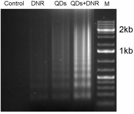 DNA fragmentation in HepG2/ADM cells after different treatments. Genomic DNA was isolated from HepG2/ADM cells. DNA ladders were visualized under UV light with ethidium bromide staining. HepG2/ADM cells treated with: control treatment; 4 × 10-6 mol/L DNR; 4 μM Cdte QDs; and 4 μM Cdte QDs + 4 × 10-6 mol/L DNR for 72 h.
