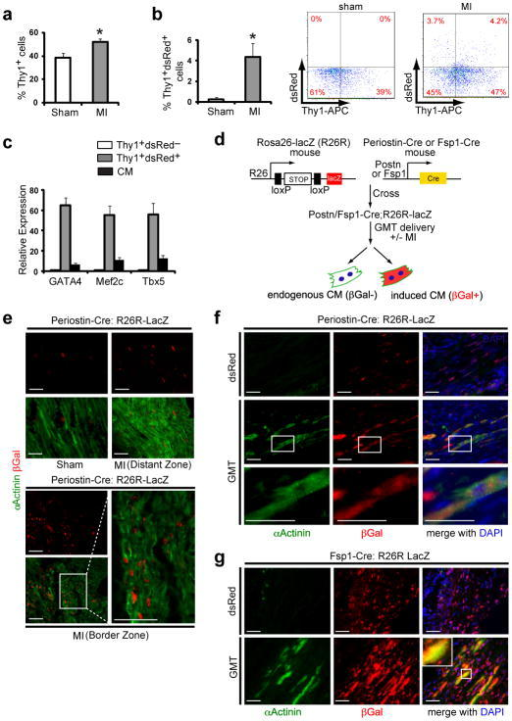 Genetic lineage tracing demonstrates in vivo reprogramming of cardiac fibroblasts to cardiomyocyte-like cellsa, Quantification of FACS analyses for Thy1+ cells from sham-operated mouse hearts or hearts 2 days after myocardial infarction (MI) (n=3, *p<0.05). b, FACS analyses of Thy1+ dsRed+ cells from sham-operated or post-MI hearts injected with dsRed-expressing retrovirus, with quantification (left) and representative FACS plots (right) (n=3, *p<0.05). c, qPCR analysis of Gata4, Mef2c and Tbx5 in Thy1+ dsRed+ cells or endogenous cardiomyocytes (CMs) compared toThy1+ dsRed− cells sorted two days after post-MI intramyocardial GMTR (Gata4, Mef2c, Tbx5, and dsRed) injection. n=3 with technical quadruplicates. d, Schematic diagram showing the genetic fate mapping method to trace the lineage of CMs reprogrammed from Periostin-Cre:R26R-lacZ or Fsp1-Cre:R26R-lacZ cells. e, Immunofluorescent staining for α-Actinin (green), βGalactosidase (βGal, red) and DAPI (blue) on sham-operated or post-MI Periostin-Cre:R26R-lacZ mouse hearts 4 weeks post-surgery. Images are from distant or border zones where endogenous CMs were labeled by α-Actinin, but were never co-localized with βGal (n=5 hearts/condition, 8 sections/heart). Scale bar, 50 μm. f–g, Immunofluorescent staining for α-Actinin, βGal and DAPI in infarct areas of dsRed- or GMT-injected Periostin-Cre:R26R-lacZ (f) or Fsp1-Cre:R26R-lacZ (g) mouse hearts 4 weeks post-MI. Boxed areas indicate regions of magnification. Scale bar, 50 μm. Error bars indicate standard error of the mean (SEM).