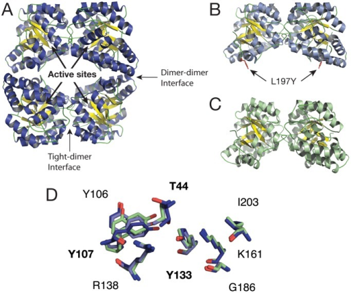 Cartoon representations of DHDPS crystallographic structures.(A) Wild-type E. coli; (B) E. coli L197Y mutant dimer; (C) wild-type MRSA dimer. The arrows indicate locations of the active sites (1 per monomer) and tight-dimer interfaces; (D) Active site alignments of tetramer and dimers. Wild-type E. coli tetramer (dark blue), E. coli L197 mutant dimer (light blue), MRSA wild-type dimer (green).