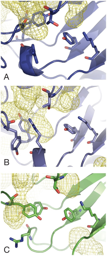 Cavities in DHDPS active sites.(A) Wild-type E. coli DHDPS; (B) L197Y E. coli engineered dimer; (C) Wild-type MRSA DHDPS. Active site cavities are represented as mesh surfaces (yellow) for the last 100 ns of dim-A, tet-1 and mrsa-1.
