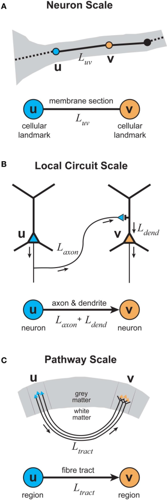 Elementary graphical representations of cortical organization at different spatial scales. (A)Neuron scale. Each vertex represents the location of a cellular landmark obtained from the 3D reconstruction of individual axonal or dendritic arbors (e.g., location of the presynaptic terminal boutons) with an undirected edge representing the section of membrane linking these vertices either by the actual path length or the direct distance between a vertex pair. (B)Local Circuit scale. Each vertex represents the somatic location of a single neuron with a directed (or undirected) edge representing the sum of the axonal and dendritic lengths connecting a pair of neuronal somata. (C)Pathway scale. Each vertex represents a distinct cortical brain region in grey matter with a directed (or undirected) edge representing the axonal fiber tract connecting a pair of cortical regions, where its length describes the actual path or direct distance of its course within white matter.