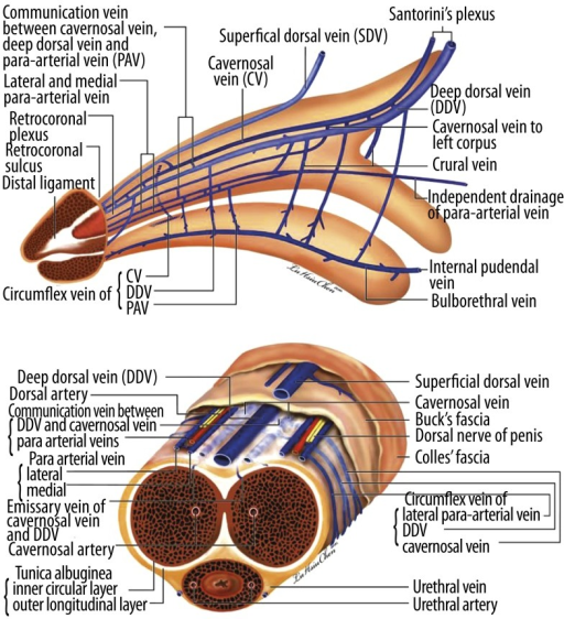 Anatomical position of the penis