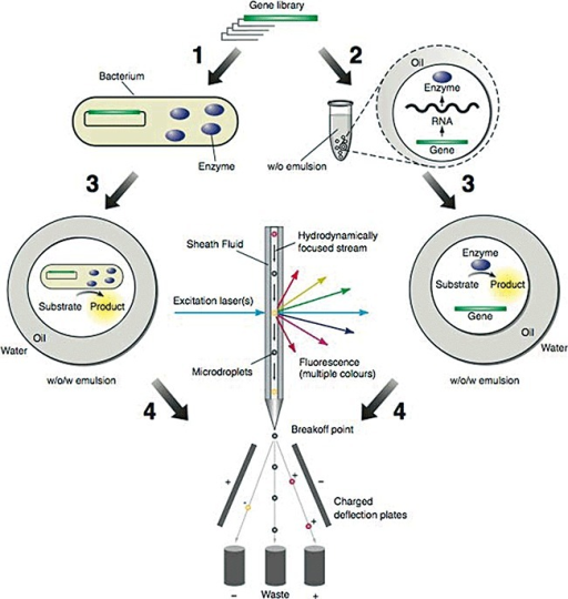 Selections by FACS sorting of double emulsion droplets. A gene library is transformed into bacteria, and the encoded proteins are expressed in the cytoplasm, the periplasm, or on the surface of the cells (Step 1). The bacteria are dispersed to form a water‐in‐oil (w/o) emulsion, with typically one cell per aqueous microdroplet. Alternatively, an in vitro transcription/translation reaction mixture containing a library of genes is dispersed to form a w/o emulsion with typically one gene per aqueous microdroplet. The genes are transcribed and translated within the microdroplets (Step 2). Proteins with enzymatic activity convert the non‐fluorescent substrate into a fluorescent product and the w/o emulsion is converted into a water‐in‐oil‐in‐water (w/o/w) emulsion (Step 3). Fluorescent microdroplets are separated from non‐fluorescent microdroplets using a fluorescence activated cell sorter (FACS) (Step 4). Bacteria or genes from fluorescent microdroplets which encode active enzymes are recovered and the bacteria are propagated or the DNA is amplified using the polymerase chain reaction. These bacteria or genes can then be re‐compartmentalized for further rounds of selection.