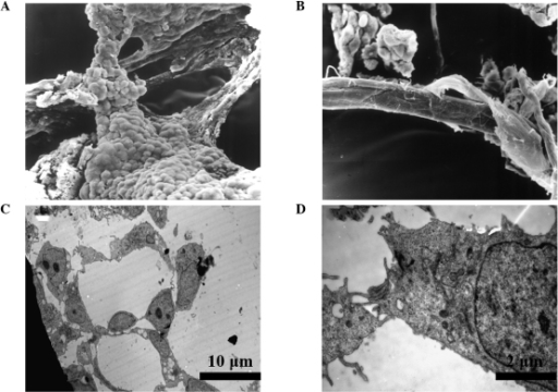Vascular-like structures of EBs were observed with electron microscopy. SEM images revealed that (A) the tube wall was composed of round and flat cells, and (B) with the elongation of tube-like structures, the tube wall became smooth. TEM images revealed that (C) vascular-like structures had lumens surrounded by flat endothelial-like cells and (D) neighboring cells were connected by tight junctions. SEM, scanning electron microscope; TEM, transmission electron microscope; EBs, embryoid bodies.